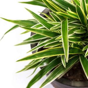 Drachenbaum Pflegen: Tipps Vom Experten