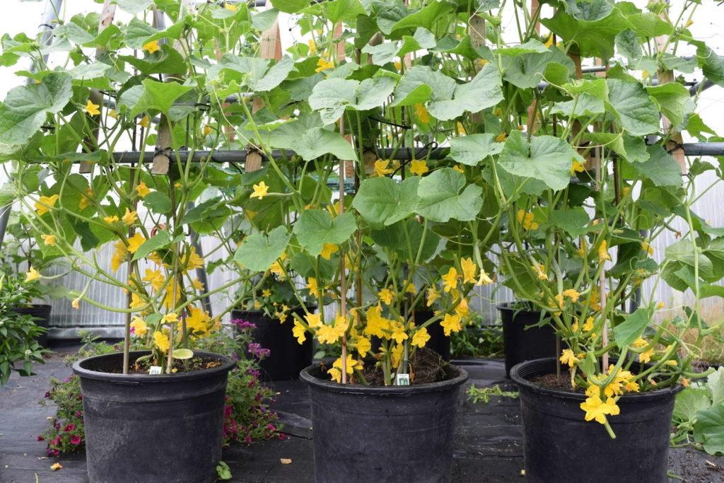 Gurken wachsen in Töpfen