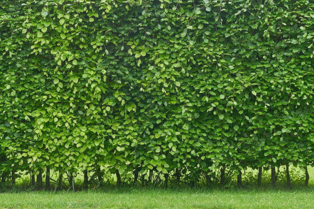Hainbuchen Hecke grün
