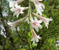 Himalaya Lilie