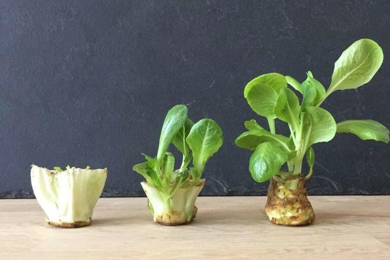 Romana-Salat Regrowing