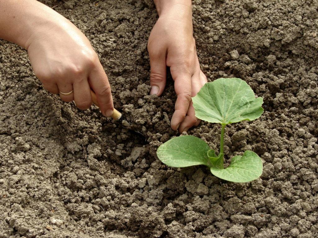 Junge Kürbispflanze einpflanzen per HAnd