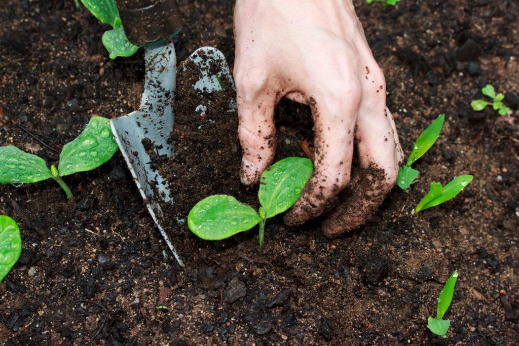 Junge Kürbispflanze umpflanzen