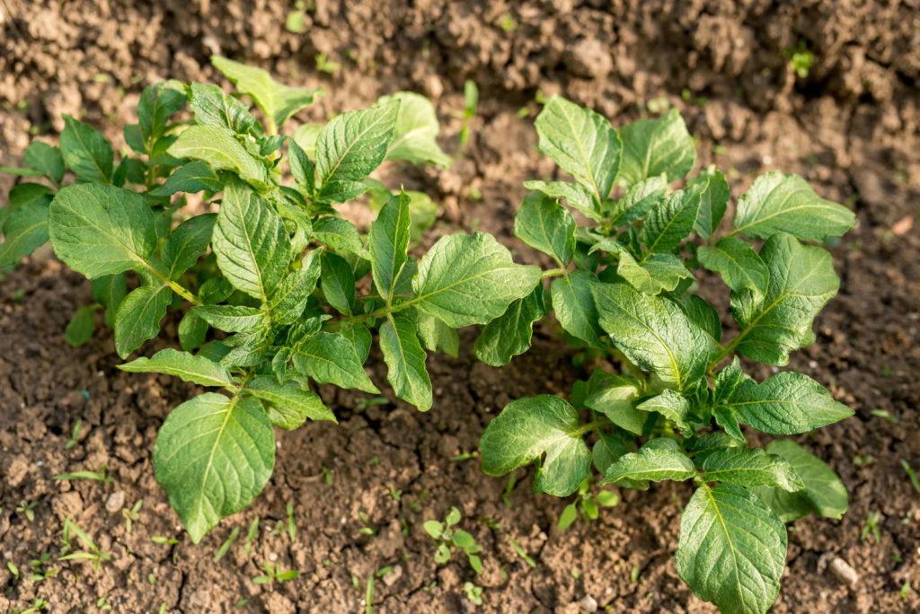 Zwei Kartoffelpflanzen im Feld