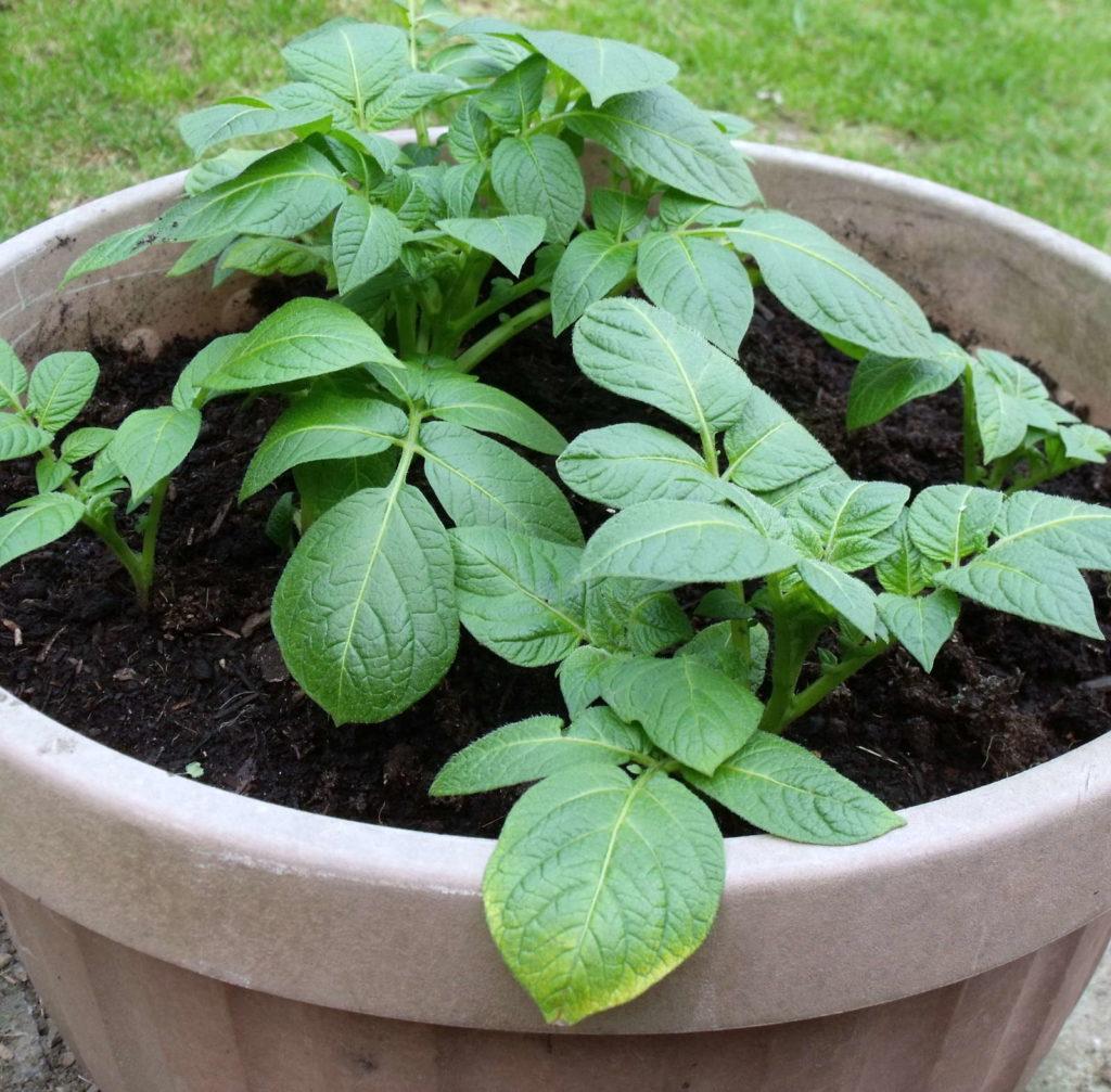 Kartoffeltopfpflanzen