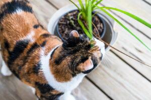 Katze Riecht An Drachenbaum Auf Terrasse