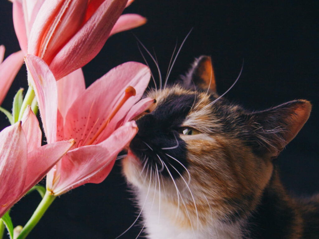 Katze riecht an Lilien pink