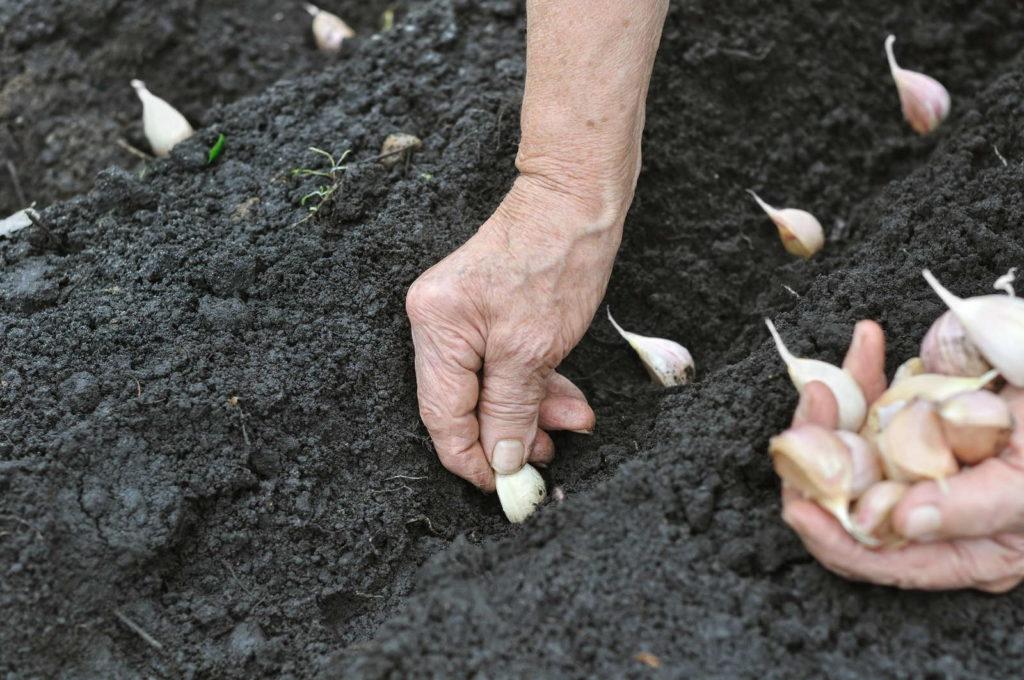 Knoblauchzehen in Beet stecken per hand