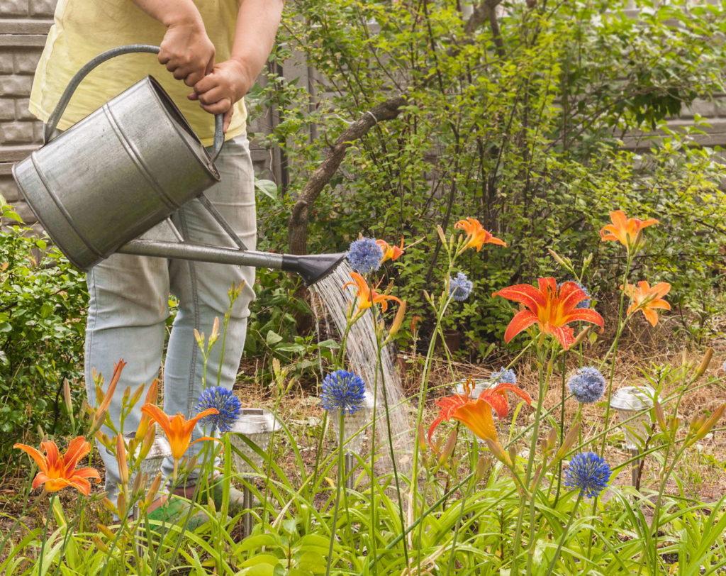 Lilien gießen garten gärtner