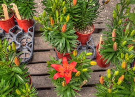 Lilien Kaufen: Ratgeber & Bezugsquellen