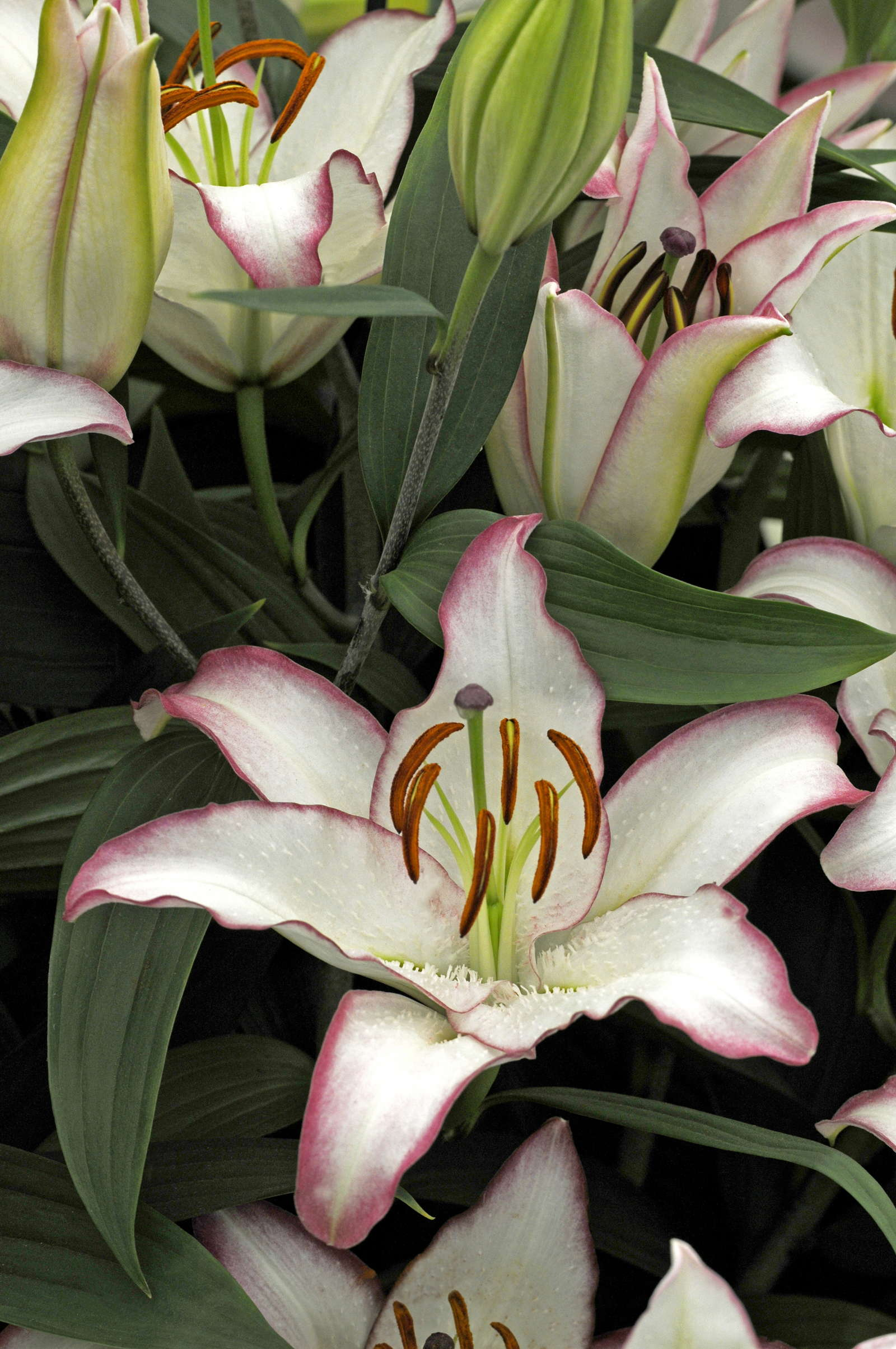 Lilium Hotline lilie weiß pink