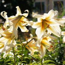 Conca D'or Lilie Weiß Gelb Garten