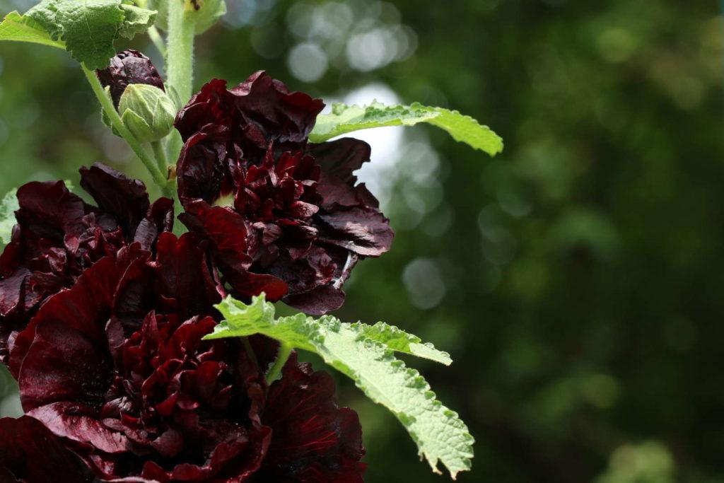 schwarze Malve Garten