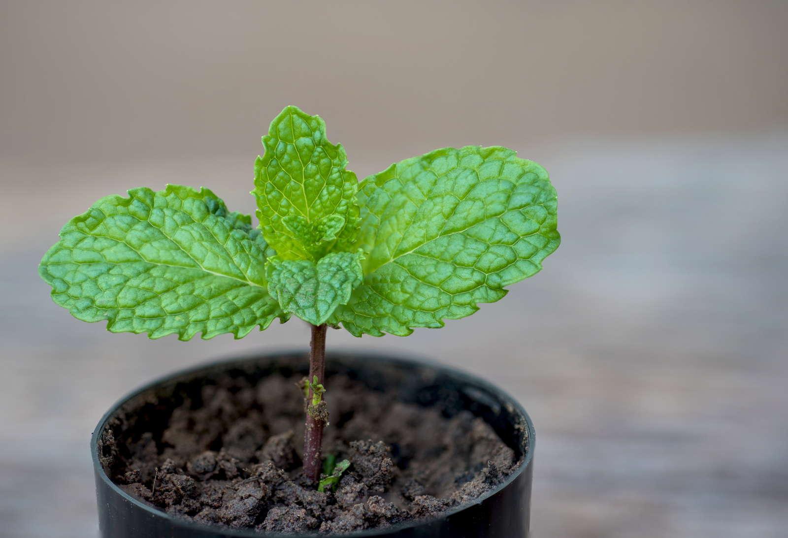 Etwas Neues genug 10 Tipps zum Anbau von Minze - Plantura &PO_84