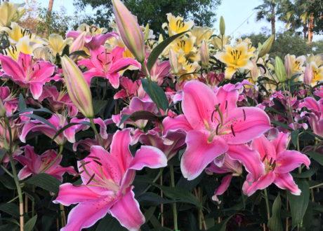 Pinke Und Gelbe Lilien