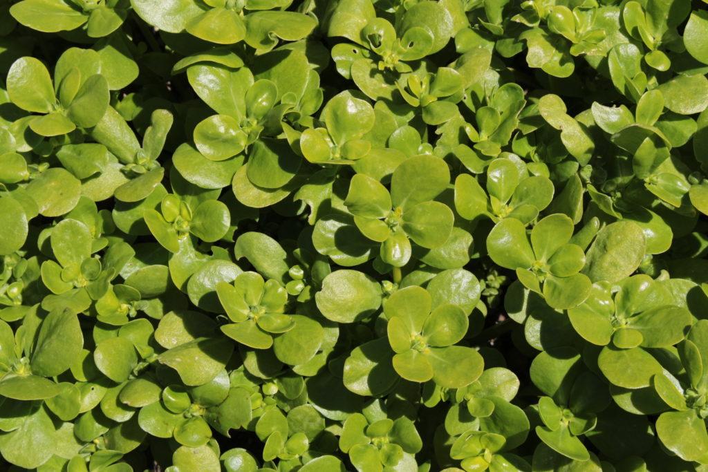 Portulak Blätter im Beet