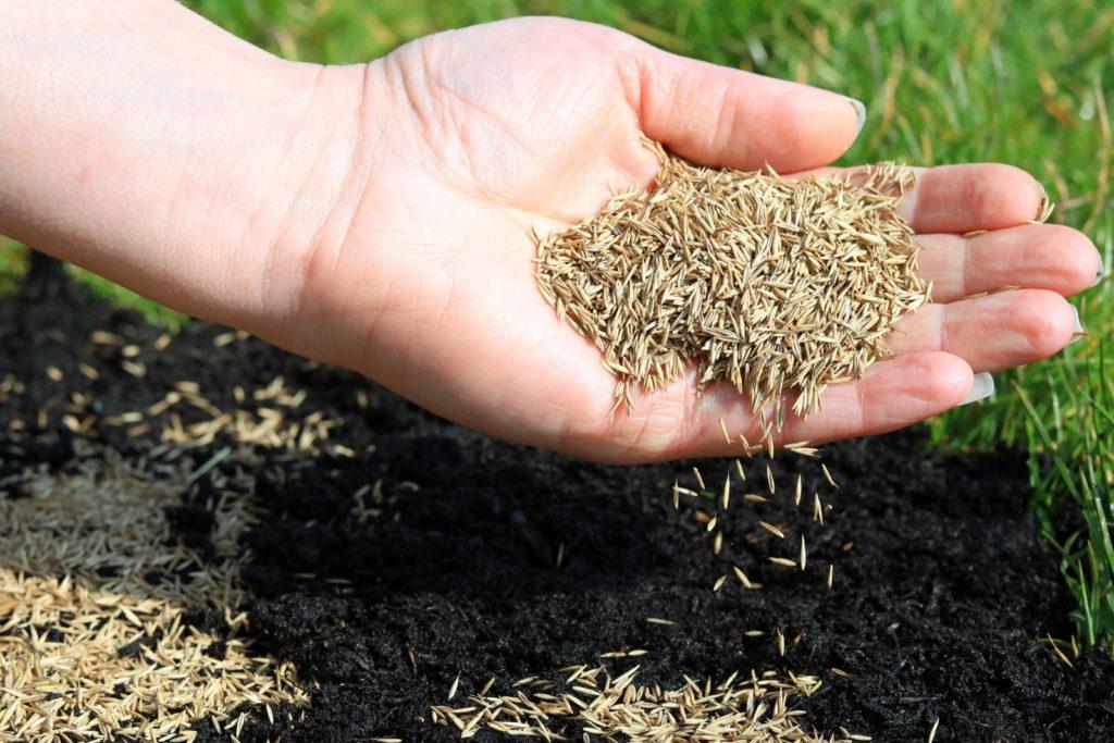 Rasensamen von Hand auf den Rasen streuen