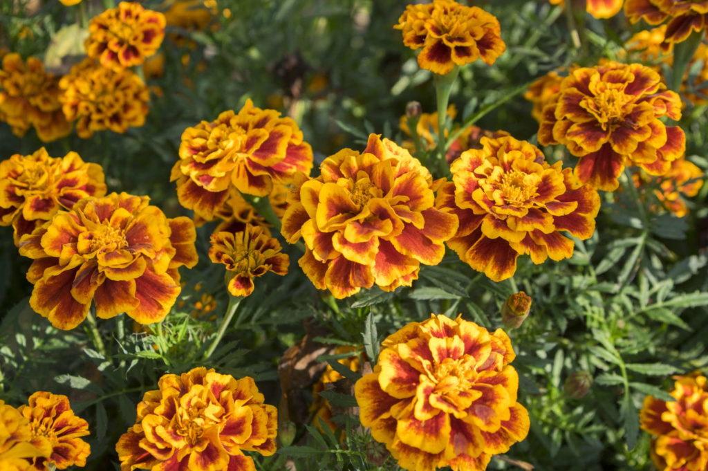Ringelblumen Pflanzen im garten