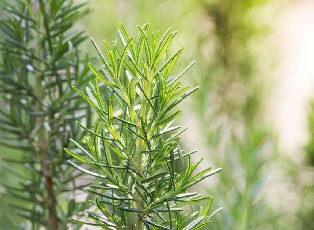 Rosmarin kraut zweig im garten grün