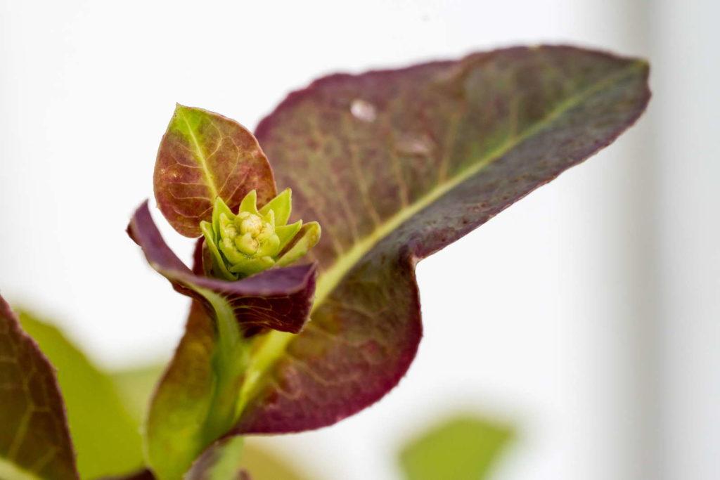 Salatblüte