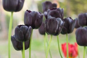 Schwarze Tulpen Im Garten