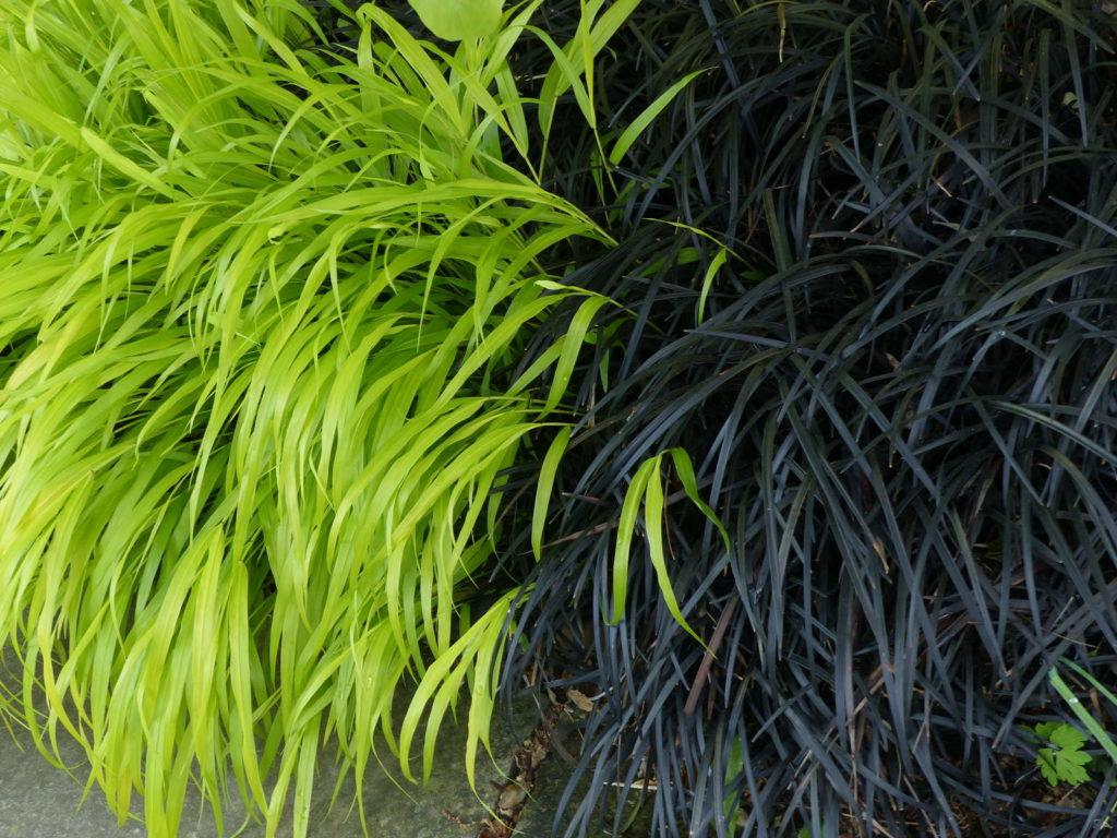 Schwarzer Schlangenbart Pflanze schwarz