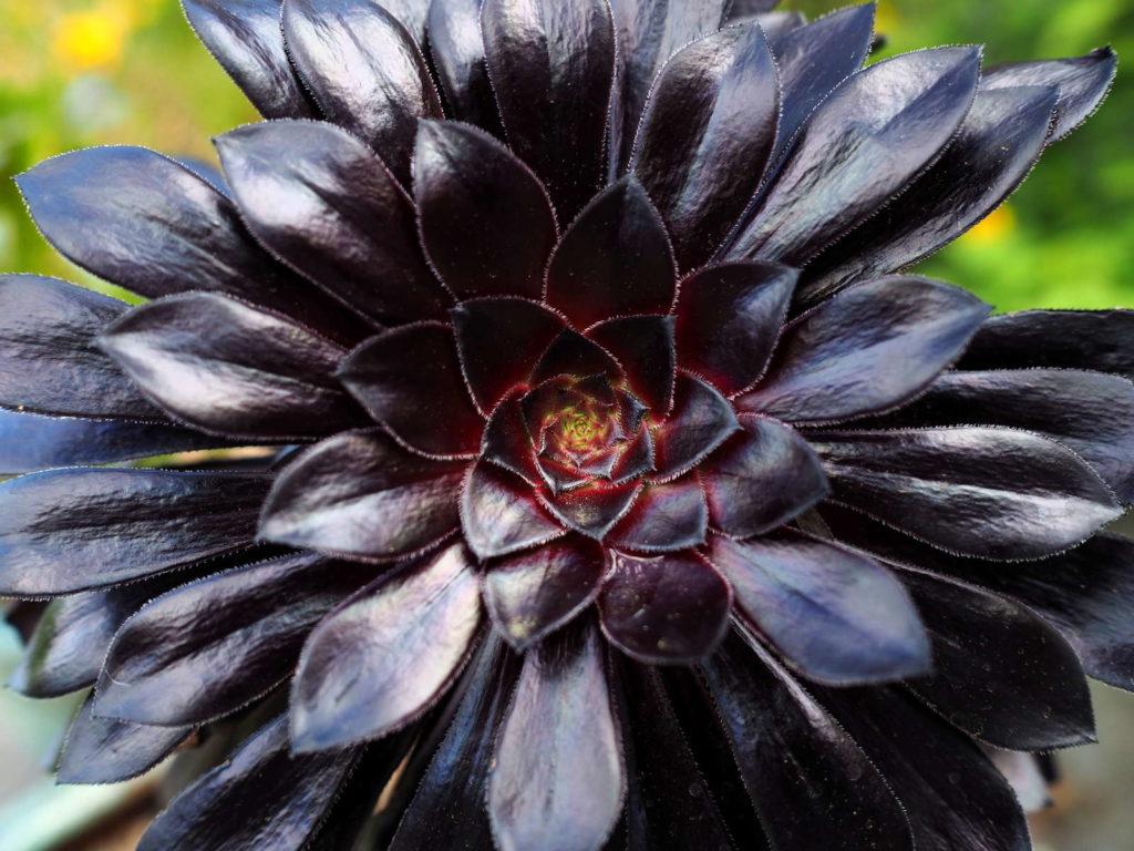 Schwarzkopf schwarze Pflanze