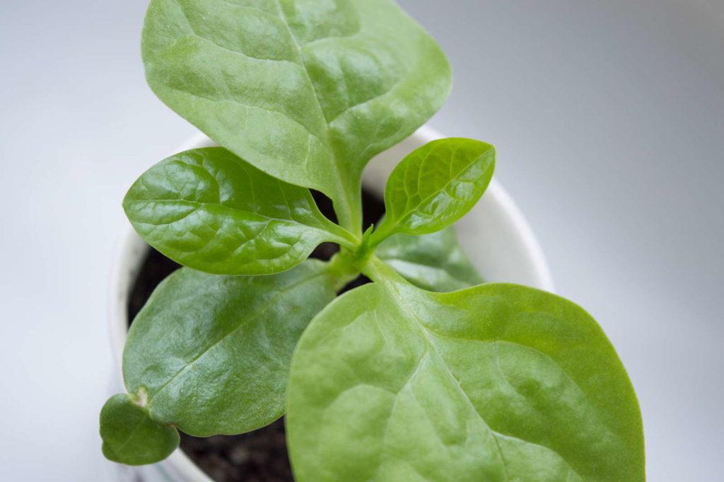 Kleine Spinatpflanze im Topf