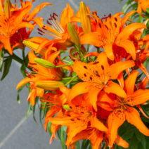 Tigerlilie Orange Lilie Blüte