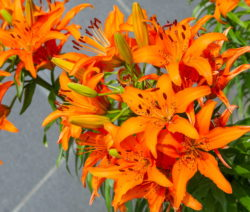 Tigerlilie Orange Lilie Blüte
