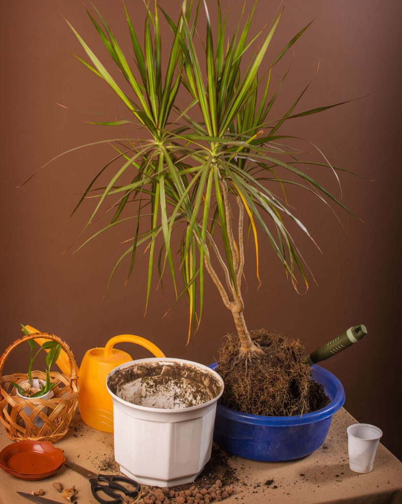 Umtopfen Dracaena Zimmerpflanze