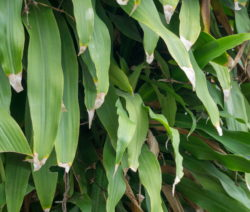 Verrbannte Blätter Eines Drachenbaums