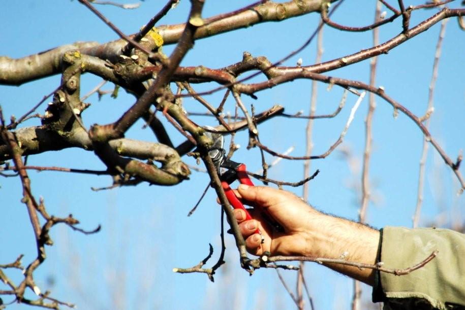Apfelbaum schneiden mit Schere