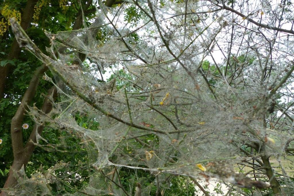 Apfelgespinstmotte Larven im Baum