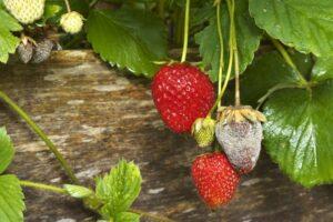 Erdbeeren Mit Grauschimmel