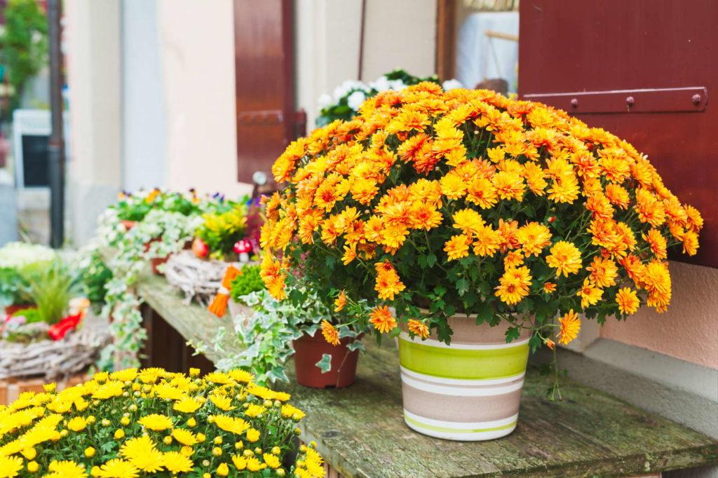 Chrysanthemen in voller Blüte vor Hauswand zur Reinigung von Luft