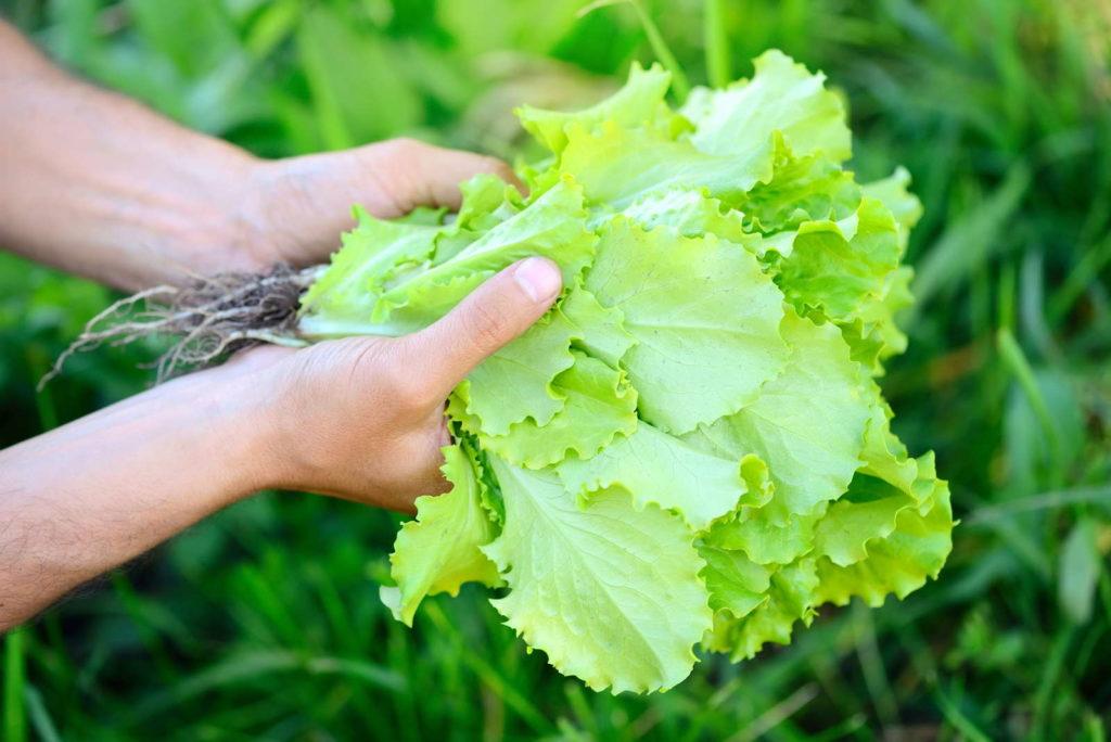 salat ernten per Hand frisch aus dem Garten