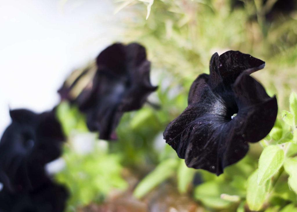 schwarze Petunie Blüte
