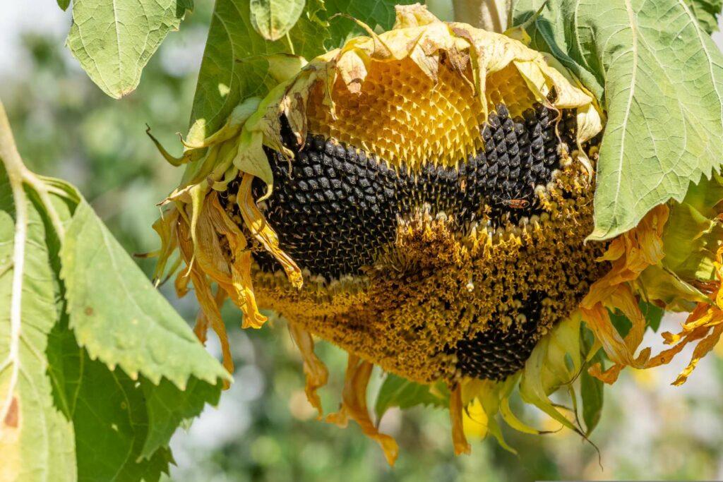 Reife Sonnenblumenkerne