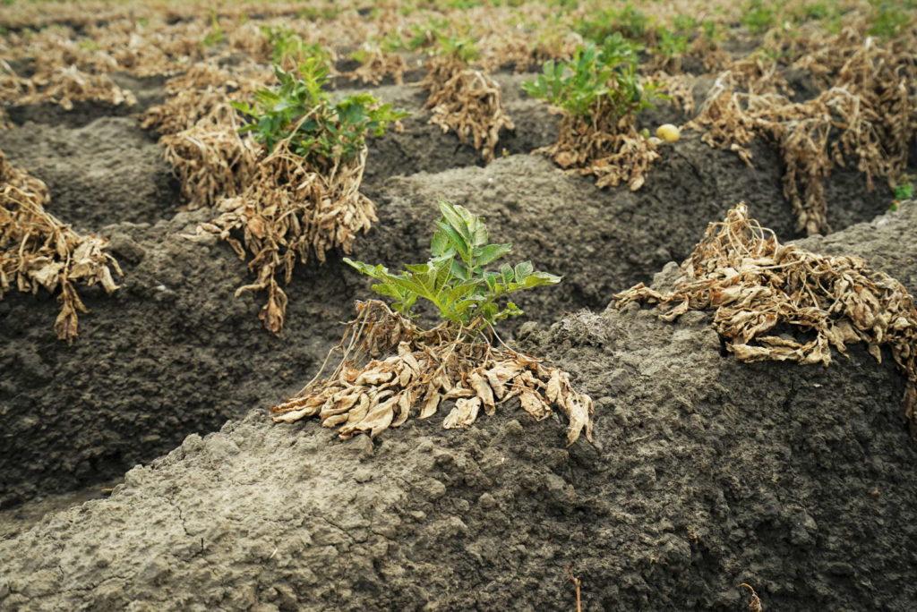 ertrocknete Kartoffelpflanzen auf Feld