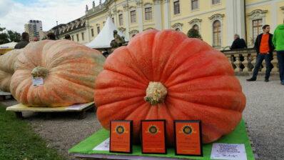 Riesengemüse: Wie Zucchini, Kürbis & Co. gigantisch werden