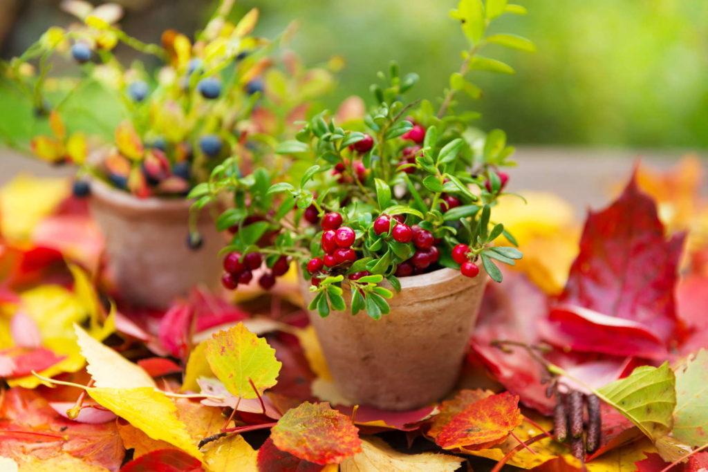 Cranberries und Blaubeeren im Topf mit herbstlichen Bättern