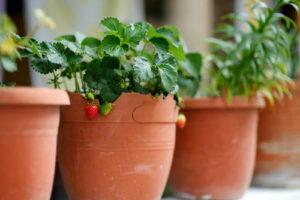 Erdbeeren Im Topf Mit Anderen Töpfen