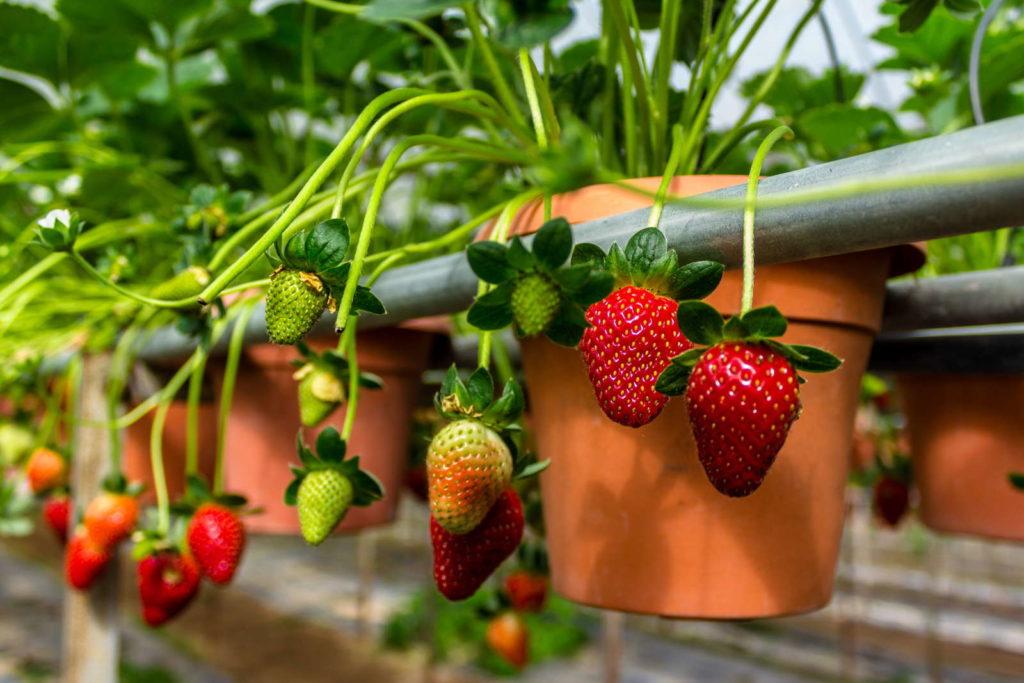 Erdbeeren im Topf auf Balkon