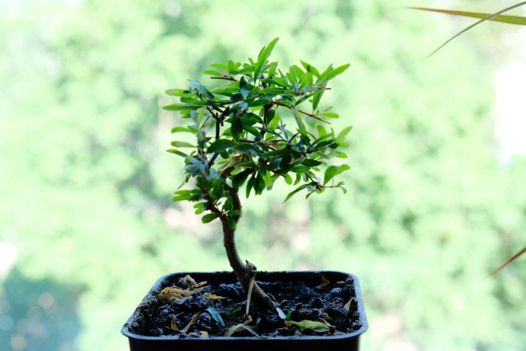 Granatapfelbaum im Topf