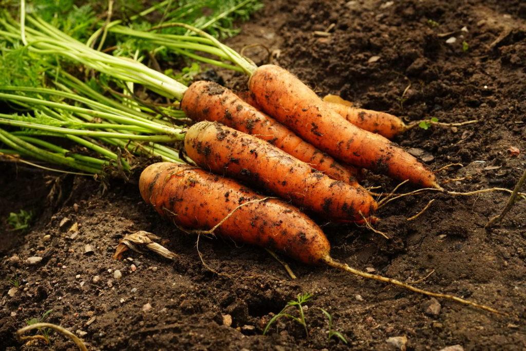 Karotten geerntet im Beet