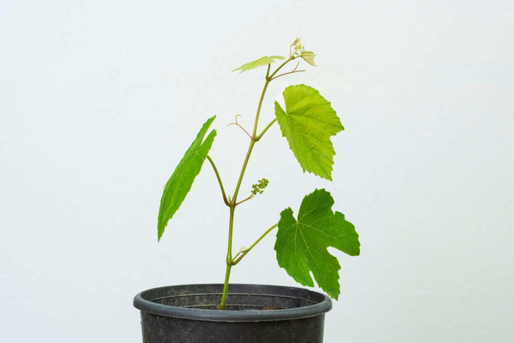 Weintraube Jungpflanze im Topf