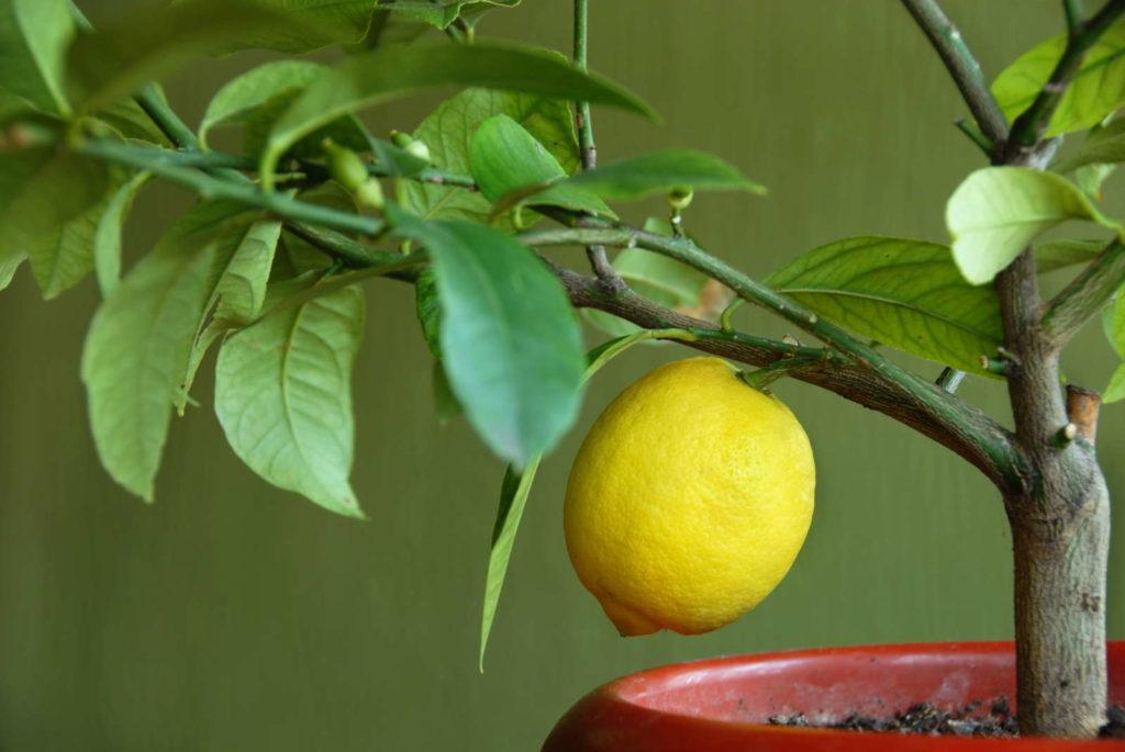 Zitronenpflanze im Topf mit einer Zitrone
