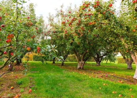 Apfelbäume Auf Einer Wiese