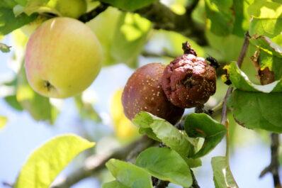 Apfelbaum-Krankheiten: Häufige & gefährliche Krankheiten